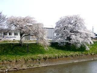 20130414逢瀬川の桜(その31)