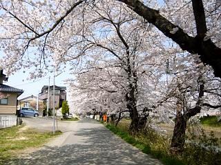 20130414逢瀬川の桜(その33)
