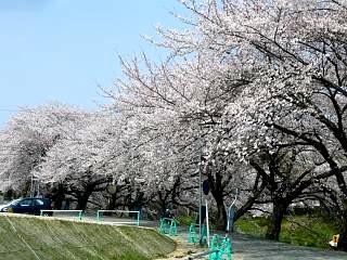 20130414逢瀬川の桜(その34)