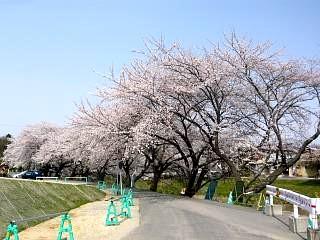 20130414逢瀬川の桜(その35)