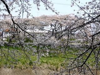 20130414逢瀬川の桜(その36)