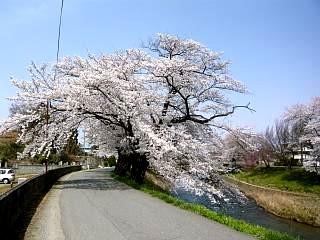 20130414逢瀬川の桜(その37)