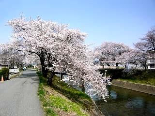 20130414逢瀬川の桜(その38)