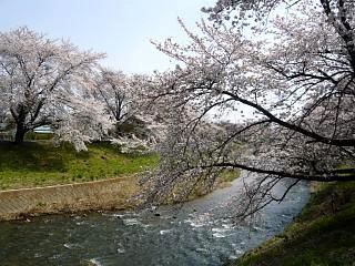 20130414逢瀬川の桜(その39)