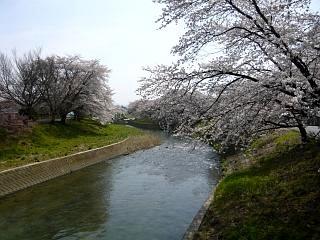 20130414逢瀬川の桜(その40)