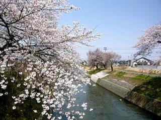 20130414逢瀬川の桜(その41)