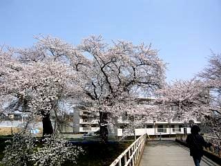 20130414逢瀬川の桜(その42)