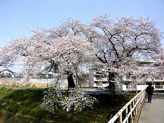 20130414逢瀬川の桜(その43)