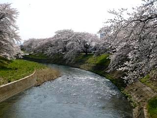 20130414逢瀬川の桜(その44)