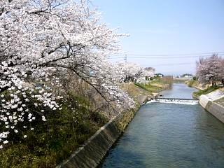 20130414逢瀬川の桜(その45)