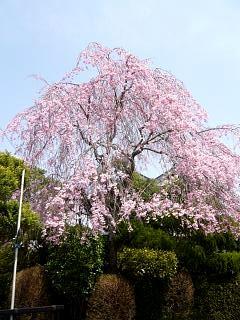 20130414逢瀬川の桜(その46)