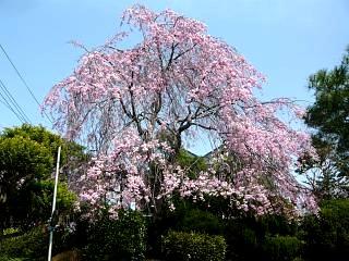 20130414逢瀬川の桜(その47)