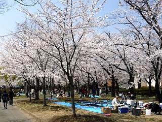 開成山公園・大神宮の桜(その40)