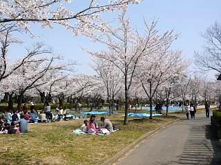 開成山公園・大神宮の桜(その41)