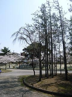 開成山公園・大神宮の桜(その46)