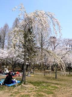 開成山公園・大神宮の桜(その47)