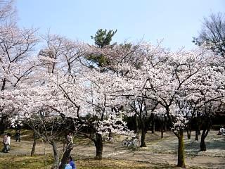 開成山公園・大神宮の桜(その48)