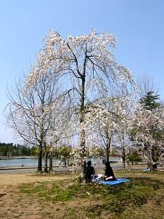 開成山公園・大神宮の桜(その49)