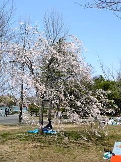 開成山公園・大神宮の桜(その50)
