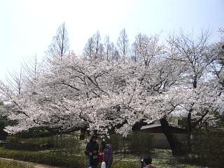 開成山公園・大神宮の桜(その53)