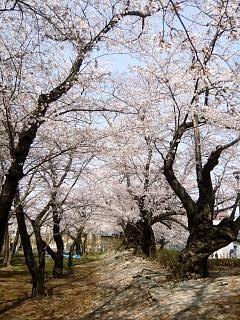 開成山公園・大神宮の桜(その54)