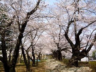 開成山公園・大神宮の桜(その55)