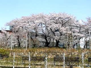 開成山公園・大神宮の桜(その56)