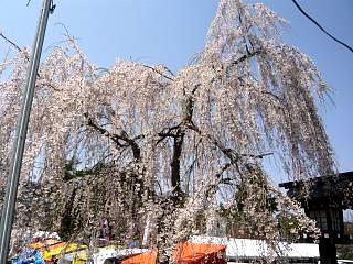 開成山公園・大神宮の桜(その63)