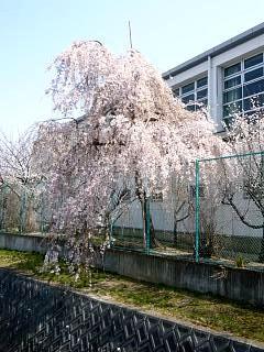 郡山女子大・逢瀬川桜(その1)