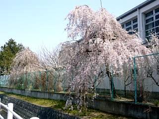 郡山女子大・逢瀬川桜(その2)