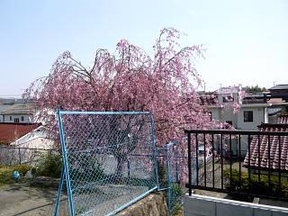 郡山女子大・逢瀬川桜(その3)