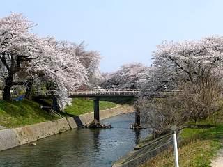 郡山女子大・逢瀬川桜(その5)