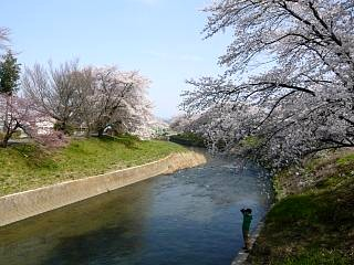 郡山女子大・逢瀬川桜(その6)
