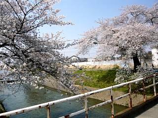 郡山女子大・逢瀬川桜(その7)