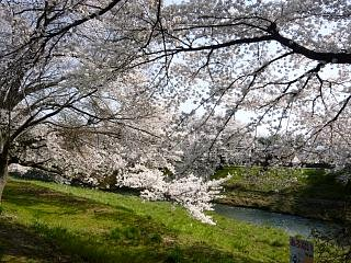 郡山女子大・逢瀬川桜(その8)