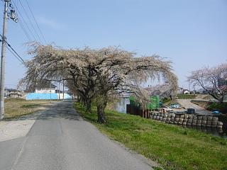 郡山女子大・逢瀬川桜(その9)