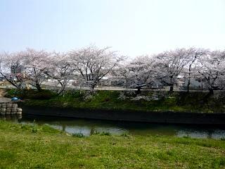 郡山女子大・逢瀬川桜(その10)