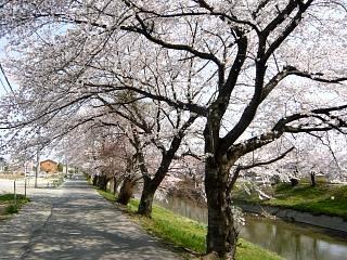郡山女子大・逢瀬川桜(その11)