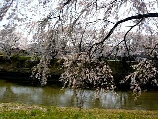 郡山女子大・逢瀬川桜(その13)