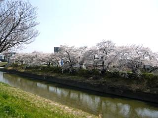 郡山女子大・逢瀬川桜(その14)