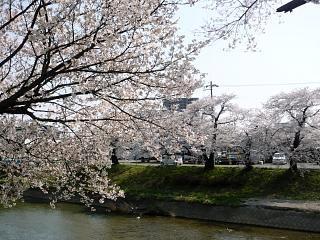 郡山女子大・逢瀬川桜(その15)