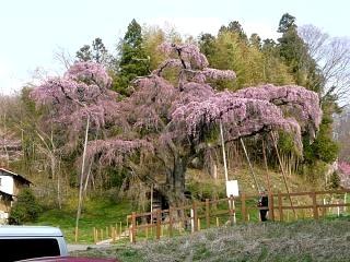 紅枝垂地蔵堂桜(その7)