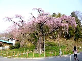 紅枝垂地蔵堂桜(その8)