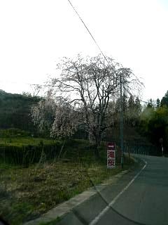 三春町の桜(その1)