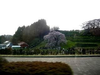 滝桜(その1)