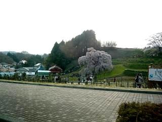 滝桜(その2)