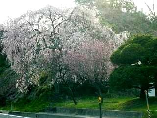 紅枝垂地蔵堂桜(その4)