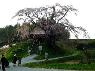 弘法桜(その9)