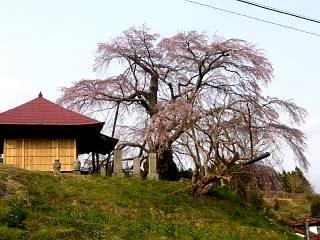 弘法桜(その8)