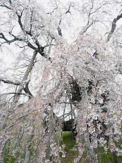 20130420三春滝桜(その27)
